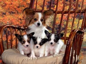 Чивава - самая маленькая порода собак в мире