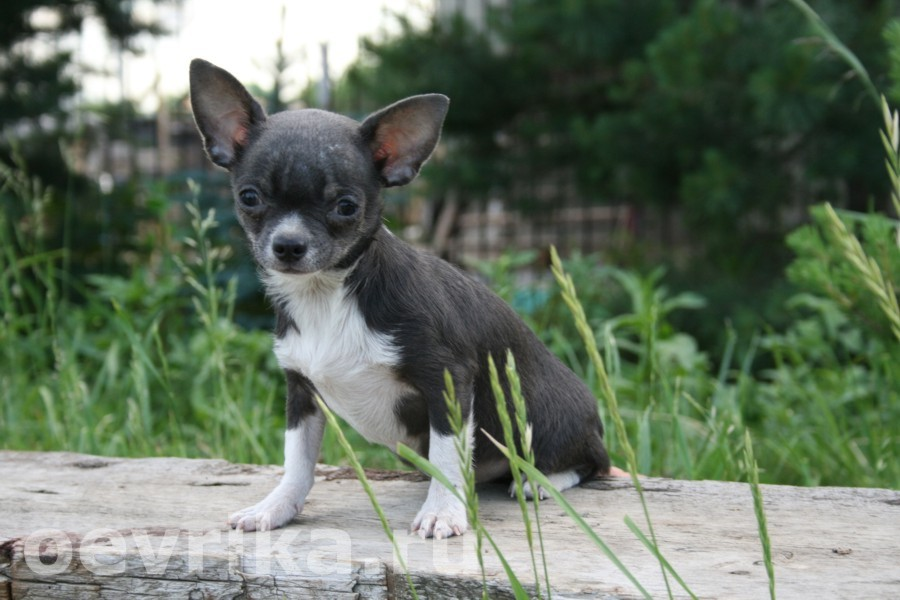 Голубой Чихуахуа щенок