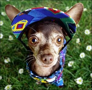 chihuahua родом из Мексики