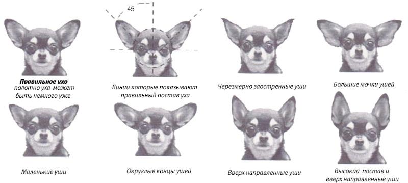 Размер головы пропорция и форма ушей чихуахуа