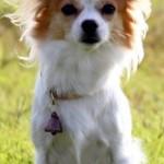 Чихуахуа - собака спасатель года в Японии
