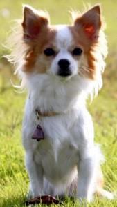 Ищейка года, чихуахуа полицейский пес