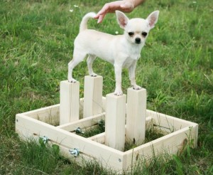 Дрессировка и воспитание собак Чихуахуа