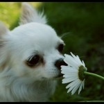 Чихуахуа белого окраса