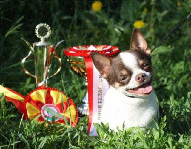 1-е место на выставке собак породы Чихуахуа