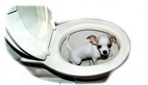 щенок чихуахуа ходит в туалет