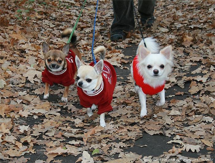 Чихуахуа - Собака компаньон
