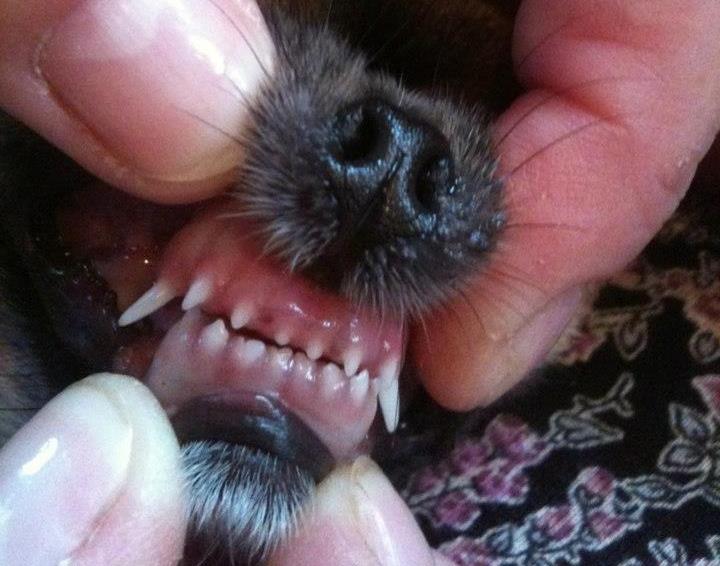 зубы чихуахуа