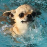 Как купать собаку чихуахуа