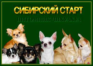 Питомник чихуахуа Сибирский старт