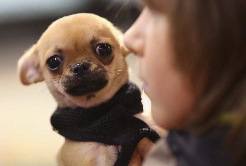 Собака Чихуахуа заболела