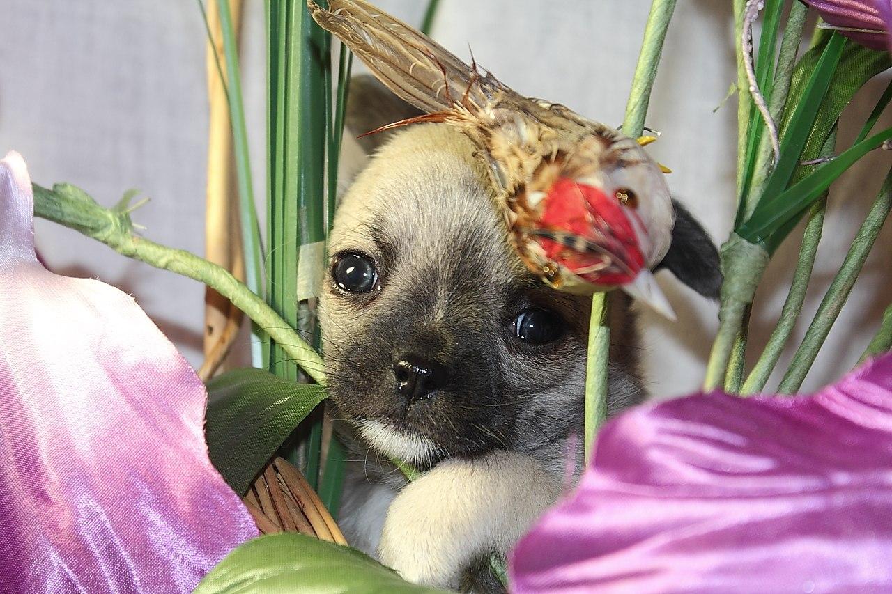 Вакцинация щенков Чихуахуа