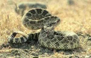 Крохотная чихуахуа спасла младенца от гремучей змеи