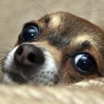 Шоколадное отравление у собак